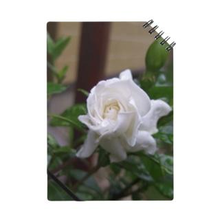 クチナシの花のつぼみ Notes