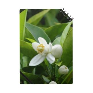 日本の花:ミカンの花 Japanese flowers: Mikan (Orange) Notes