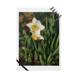 水仙 narcissus DATA_P_156 春 spring Notes