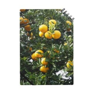 日本の蜜柑:甘夏みかん Japanese mandarine orange: Amanatsu Mikan / Natsumikan Notes