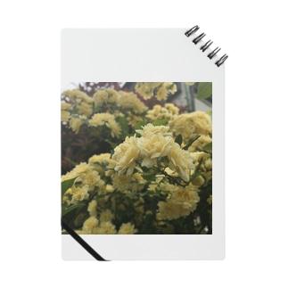 Rosa banksiae ノート