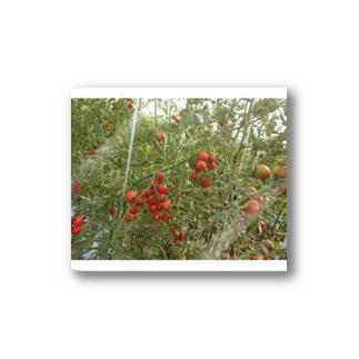 ミニトマト収穫前 Stickers