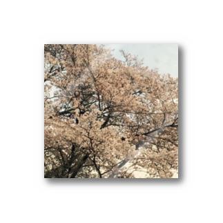 桜と星 ステッカー