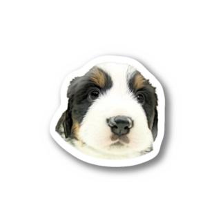 バーニーズマウンテンドッグA 子犬 Stickers