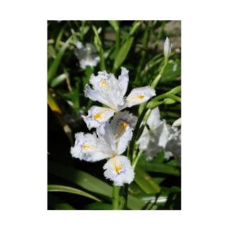日本の花:ヒメシャガ Iris gracilipes A. Gray Stickable poster