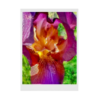 Ίρις. I : Iris Germanica : 光彩 I 20200530-11 Stickable poster