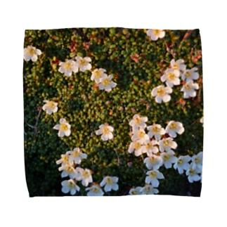 イワウメ Towel handkerchiefs
