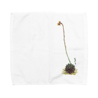 多肉植物・大和錦 Towel handkerchiefs