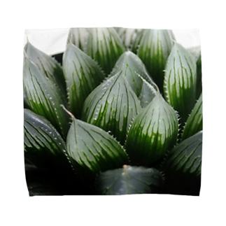 ハオルチア オブツーサ系3「ブルーレンズ」 Towel handkerchiefs