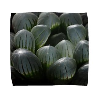 ハオルチア オブツーサ系4「ドドソン紫オブツーサ」 Towel handkerchiefs