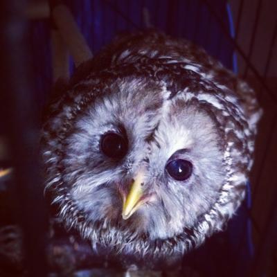 フクロウ(Ural owl)