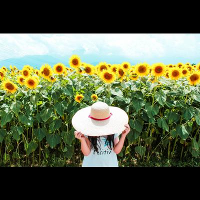 ひまわりと麦わらたちの写真について