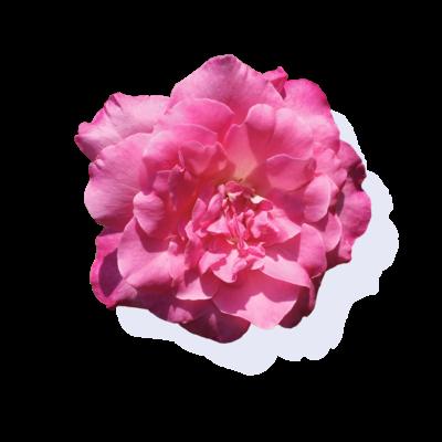 植物(おもに花)
