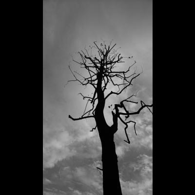 その樹のコト(モノクロ)