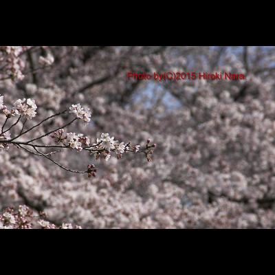 光景 sight0071 桜 2015_016 サクラ