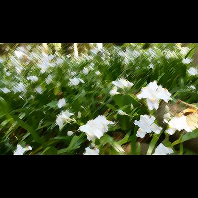 シャガの花畑