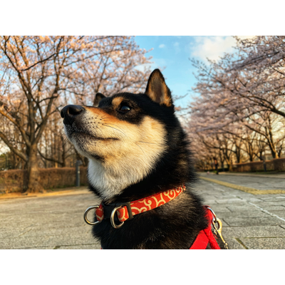 桜と黒柴くん