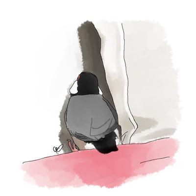 奥が気になる桜文鳥