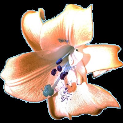 Lily (Twilight Colour)
