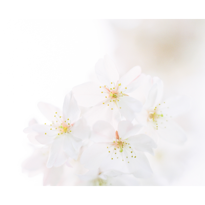 「桜」 中判フィルム写真