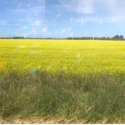 黄色のお花畑