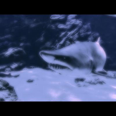 シロワニ(サメ)