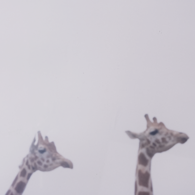 Fog and giraffe