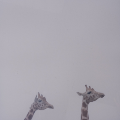 Fog and giraffe