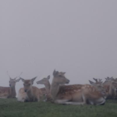 Fog and deer II