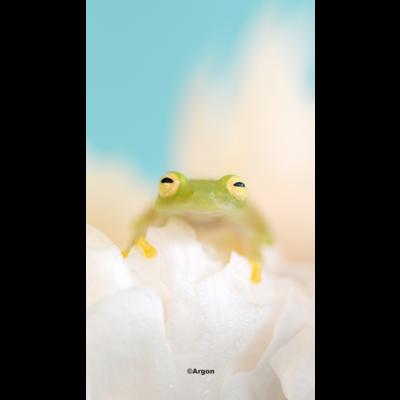 笑顔のグミガエル