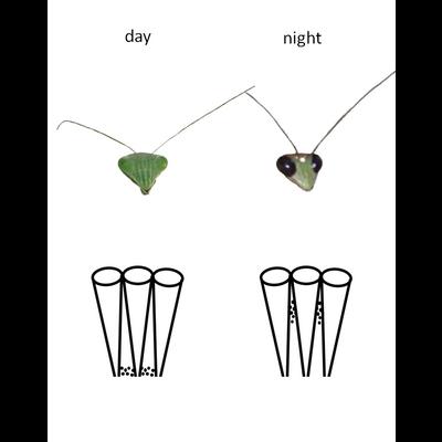 カマキリの昼と夜の複眼図解