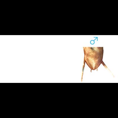 カマキリの雌雄の見分け方