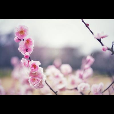 prune 梅