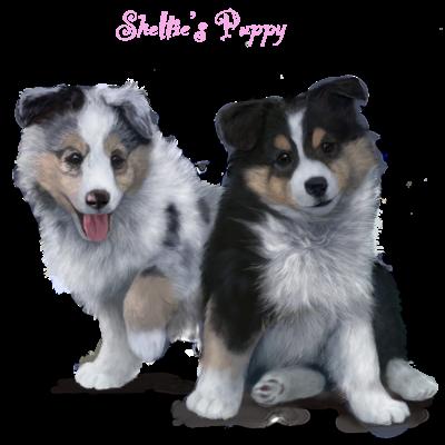 シェルティ、ブルーとトライの子犬