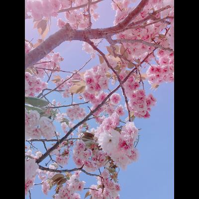 桜色の記憶