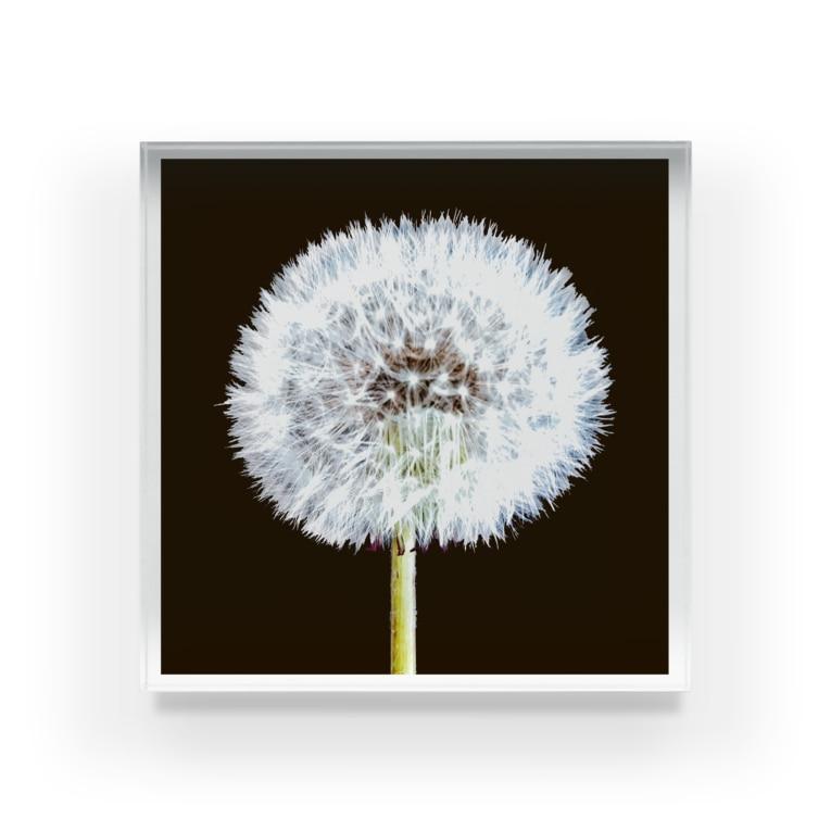 po_ta_mosのタンポポ 「植物の肖像画」シリーズ Acrylic Block