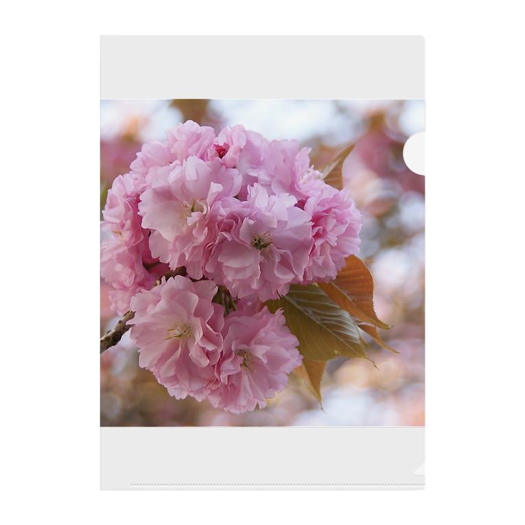 Jodlerin Sakura Kitagawa und die Edelweißmusikantenの八重さくら2 Clear File Folder